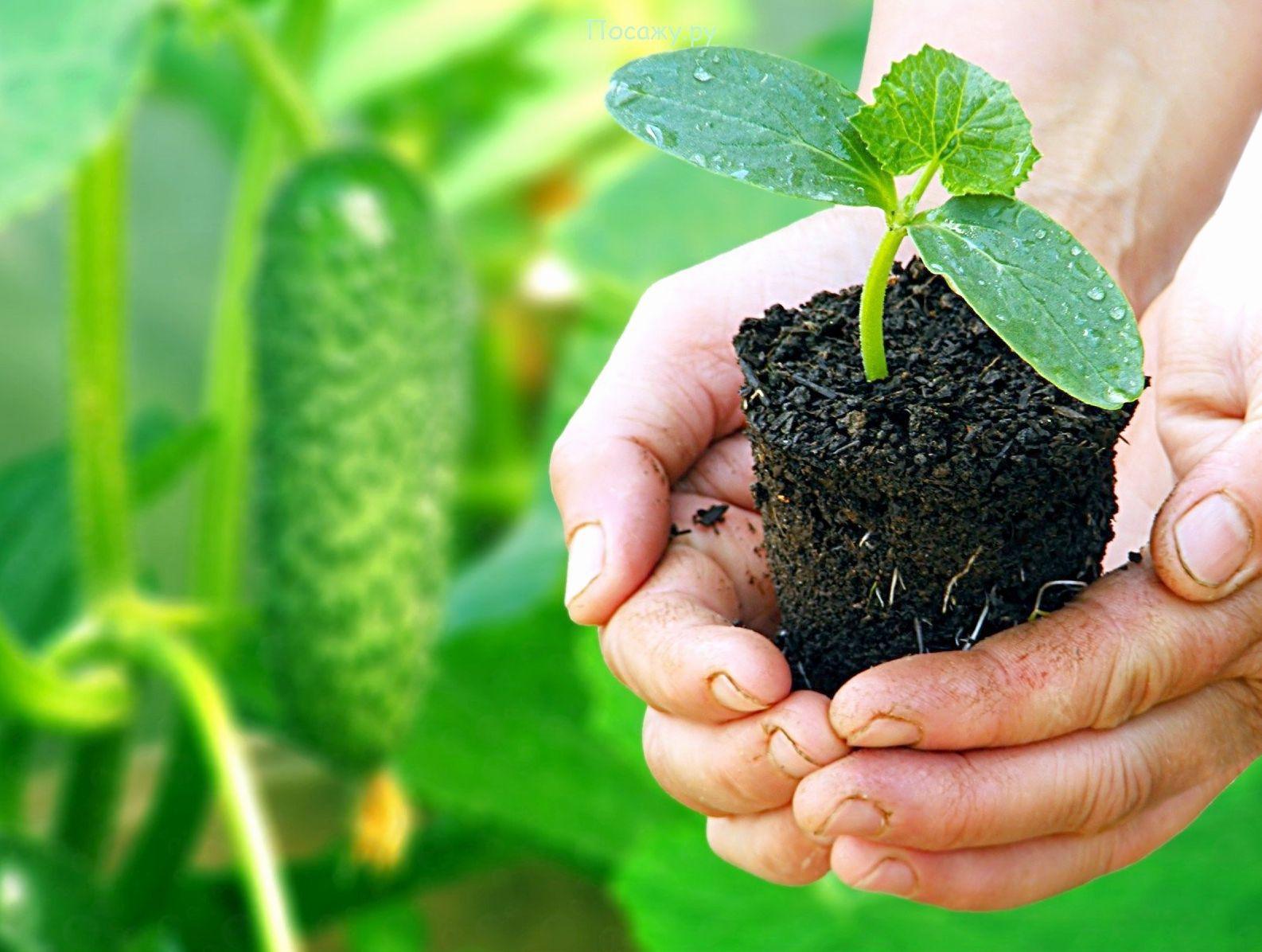 Как правильно сажать, выращивать и ухаживать за огурцами