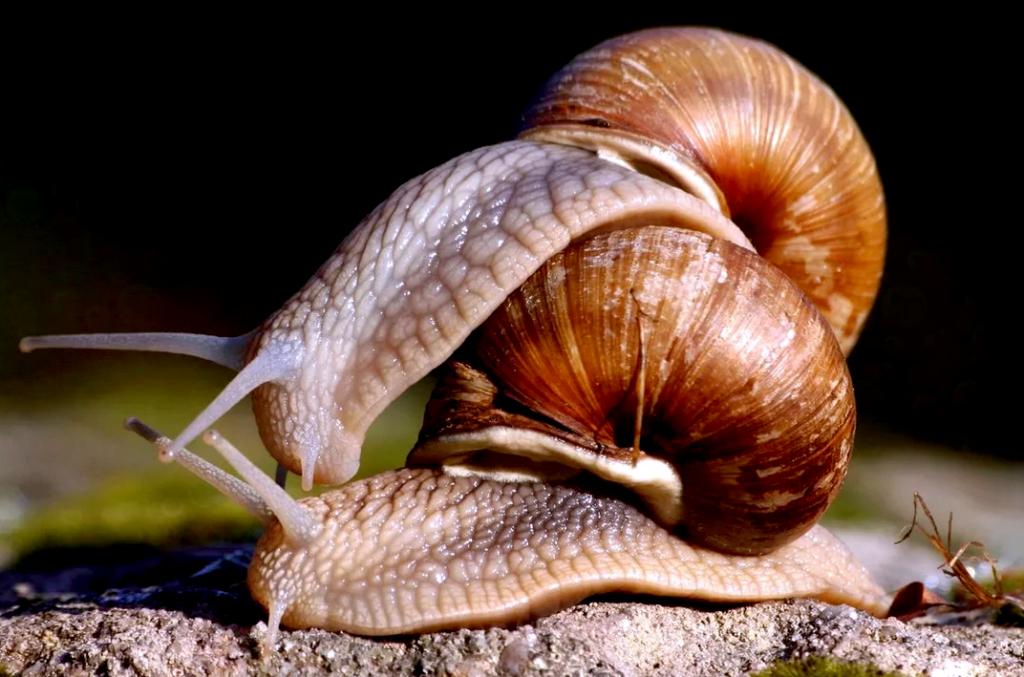 Как размножаются улитки? Все что нужно знать для разведения улиток