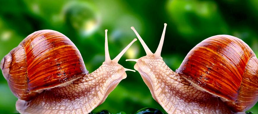 Как размножаются улитки